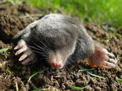 As well as touch-sensitive whiskers, all members of the mole family such as this European mole (Talpa europaea) have microscopic touch-sensitive organs around their nostrils.   The zoologist Theodor Eimer first described these organs in 1871, when studying the nose of the European mole.  Each organ is a minute (40µm diameter) swelling in the epidermis and houses multiple free nerve endings.   (Image: Wikimedia Commons)
