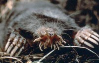 A star-nosed mole (Condylura cristata).  These unusual-looking moles are found in wetlands of the east United States and Canada.  They live almost entirely underground, digging extensive tunnel networks with their large, touch-sensitive front feet.  Their unusually high metabolic rate requires that they catch and eat a large number of earthworms, slugs and other invertebrates each day (Image: Wikimedia Commons)