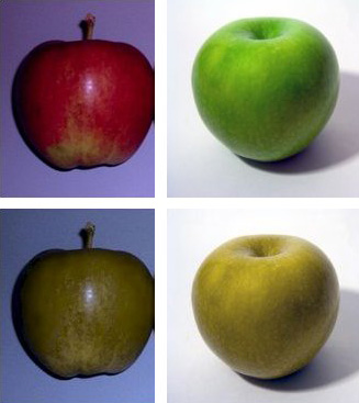 Two types of apples (Braeburn to the left, Granny smith to the right) as seen by someone with 'normal' colour vision (top row) and colour-blindness (bottom row).  Our eyes, like those of other 'Old World' primates enable us to judge the ripeness of these fruits by their colour. In contrast, many species of New-World primates have a varied perception of colour between individuals within the tribe.  Some individuals have trichromatic colour vision like ours, whilst others are what we would understand as various version of colour-blindness.  Whilst these 'dichromats' do not see red, they are better at distinguishing some fruits from foliage in dim light, or fruits of a similar colour from the surrounding leaves.  These animals forage with a diversity of visual acuities in their tribe.  Their 'group vision' is tuned to detect a wide diversity of food types, whilst ours is more 'specialist' (Image: Wikimedia commons)