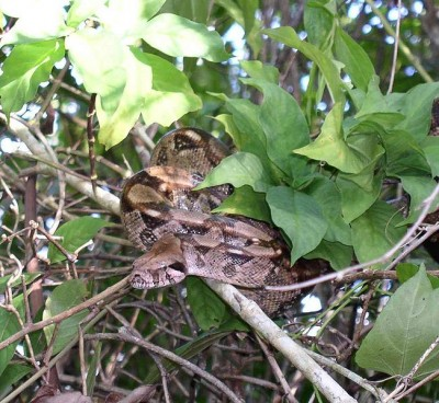 The rhythmical markings on this Boa constrictor from Belize break up the outline of its body in this visually complex jungle habitat, making it more difficult to see (Image: Wikimedia Commons)