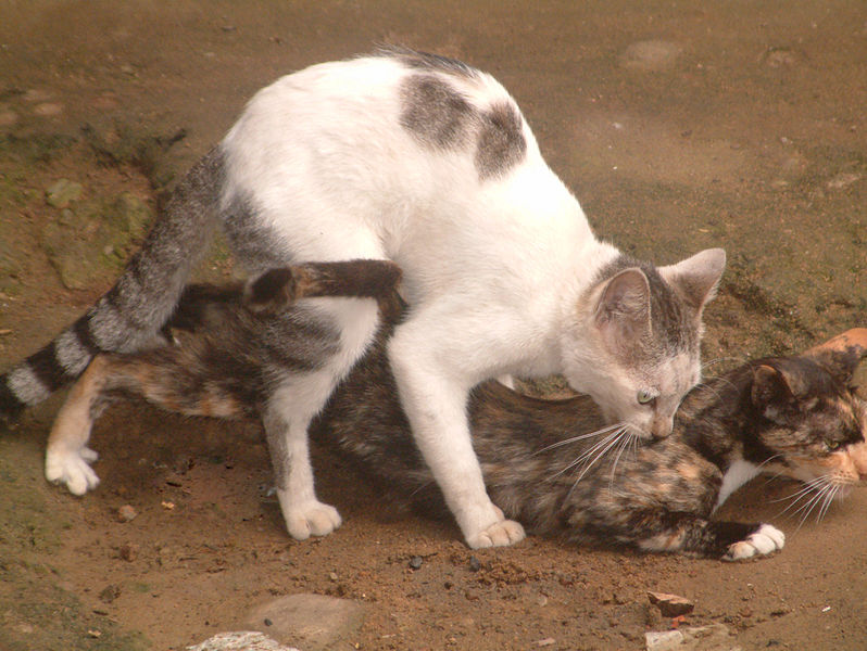 The lordosis reflex is an 'immobilisation response', mediated by oxytocin. Many female mammals in season arch their back and stay still in response to her mate touching her flanks.  This makes it possible for the male to copulate with her.  This reflex is particularly obvious amongst all members of the cat family, but is of secondary importance in higher primates and has been lost in humans (Image: Tsassi jules faustin/Wikimedia Commons)
