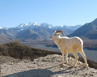 Dall sheep (Ovis dallii) from Alaska, withstand extremely low temperatures.  The fibres of their fur are unusual; each strand is hollow.  This produces a remarkably effective insulating layer (Image: National Park Service, Alaska Region/Wikimedia Commons)