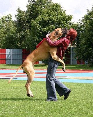 Dogs learn to recognize words which we deliberately teach them.  Often they also pick up word cues which they have observed but which we haven't taught them.  They may then recognize and show an emotional response to these stimuli.  Here the word 'walk' provokes some spontaneous behavior (Image: Rytis Mikelskas/Wikimedia Commons)