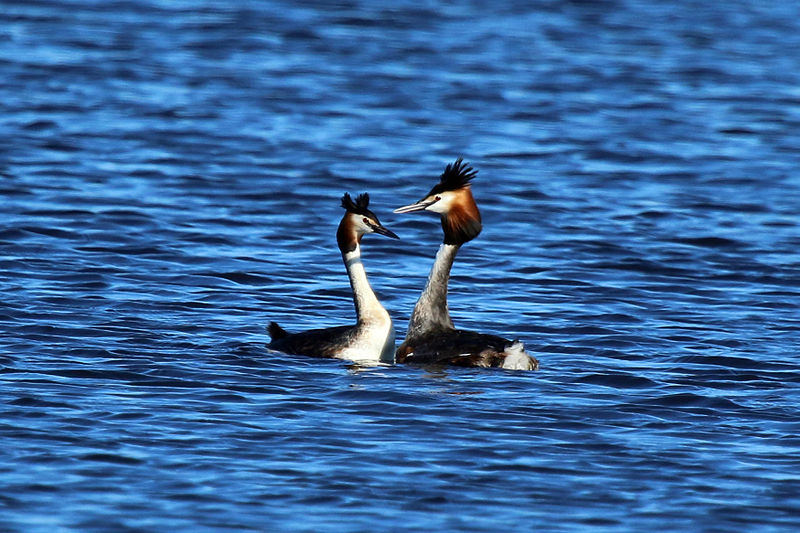Great crested grebes (Podiceps cristatus) displaying to each other during a mating ritual.  The autonomic nervous system of birds has arisen independently of mammals, yet they are similarly able to regulate their heart rate, metabolism and body temperature.  As with mammals, birds show a range of social behaviours including territory defence, nest building, mutual feeding and grooming, and physical intimacy.  Many birds use courtship dances when pair-bonding.  They also can suffer from separation anxiety, and share parental chores (Image: Charles J. Sharp/Wikimedia Commons)
