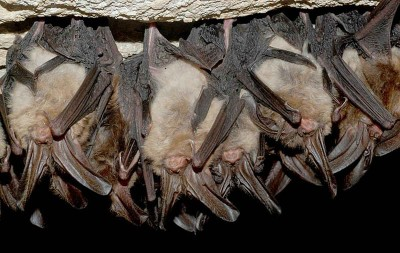 Small mammals and birds often adopt strategies to conserve energy, including allowing their temperature and metabolic rate to fall as they sleep.  These Virginia big-eared bats, Corynorhynus townsendii virginianus, maintain a normal body temperature when awake, but enter a state of 'torpor' when roosting, and hibernate through the winter.  Their hearts make 300-400 beats per minute when active, but as few as ten beats per minute during hibernation.  This allows their body temperatures to fall, slowing their metabolism and conserving energy (Image: Wikimedia Commons)