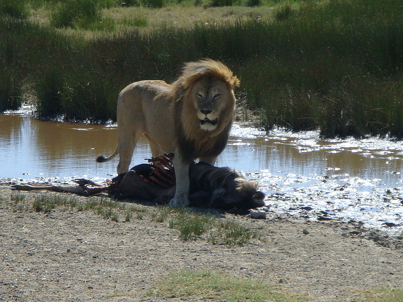 A male lion (Panthera leo) guards a wildebeest carcass in the Serengeti desert.  A small increase in the population size of lion predators substantially increases the sense of risk, and hence avoidance behaviour, in their wildebeest prey.  As a result, they hide more and consequently forage less.  This, rather than direct predation, reduces their population growth and prevents them from overgrazing their habitat (Image: Wikimedia Commons)
