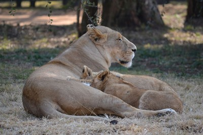 The act of nursing, stroking and sharing body warmth, as experienced by the offspring of this lioness, causes a release of oxytocin in both mother and child (Image: Wikimedia Commons)
