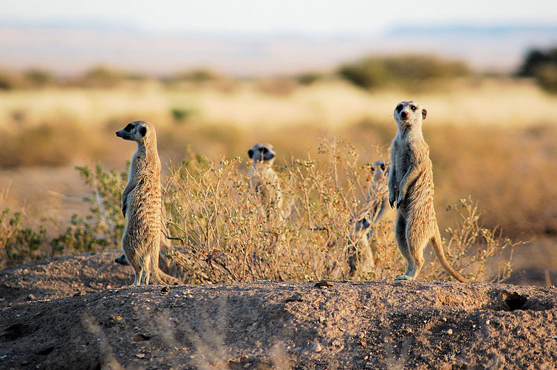 Meerkats (Suricata suricatta) in Namibia.   These highly social mammals forage, play, rest and move as a single unit.  If one of their party notices something and stands in the 'alert' posture (as here) the whole tribe follow suit (Image: Wikimedia Commons)
