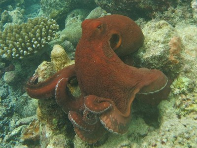 This Big Blue Octopus (Octopus cyanea) has camera-type eyes similar to ours.  The unprocessed visual data they capture may therefore also be very similar.  However they do not see in colour.  This is surprising when they are able to change colour themselves so dramatically.  The octopus has a vertebrate-like neural organization.  Its complex brain can remodel its neural connections in the long term (that is it maintains synaptic plasticity).  This means it can learn from new experiences and adopt new behaviours throughout its life (Image: Ahmed Abdul Rahman/ Wikimedia Commons)