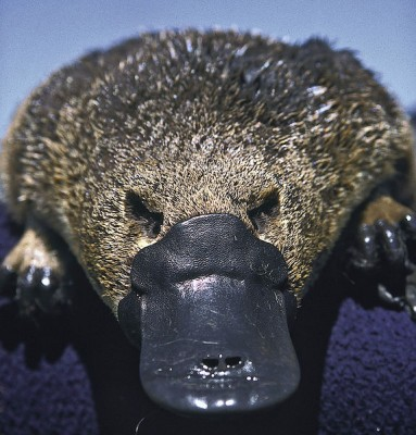 The platypus (Ornithorynchus anatinus ) has a core body temperature of 32⁰C.  It is susceptible to the fungus Mucor amphibiorum.  This fungus cannot survive above 36C.  Our bodies, like those of most mammals, remain around 36-37⁰C, at which temperature they repel all but a few opportunistic fungal species (Image: Dr Philip Bethge/Wikimedia Commons)