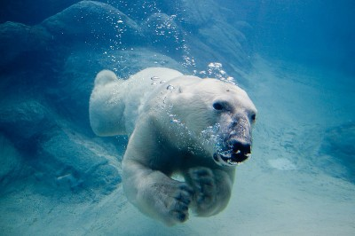 Polar bears (Ursus maritimus) have fur and a thick blubbery layer of fat beneath the skin which is more than 11cm thick.  This fatty insulation enables them to stay warm both on land and in icy arctic waters.  They are strong swimmers regularly take to the water to move between ice flows.  If 'marooned' on floating ice, can return long distances to the safety of the shore (Image: Wikimedia Commons)
