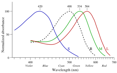 Spectral absorption curves of the blue (short, S), green (medium, M) and red (long, L) wavelength photopsin pigments in human cone cells.  The curve for rhodopsin (R) found in the rod cells, detects white light. Cone cells, which carry photopsins, are dispersed sparsely around the retina, but are dense in the area of the macula known as the fovea.