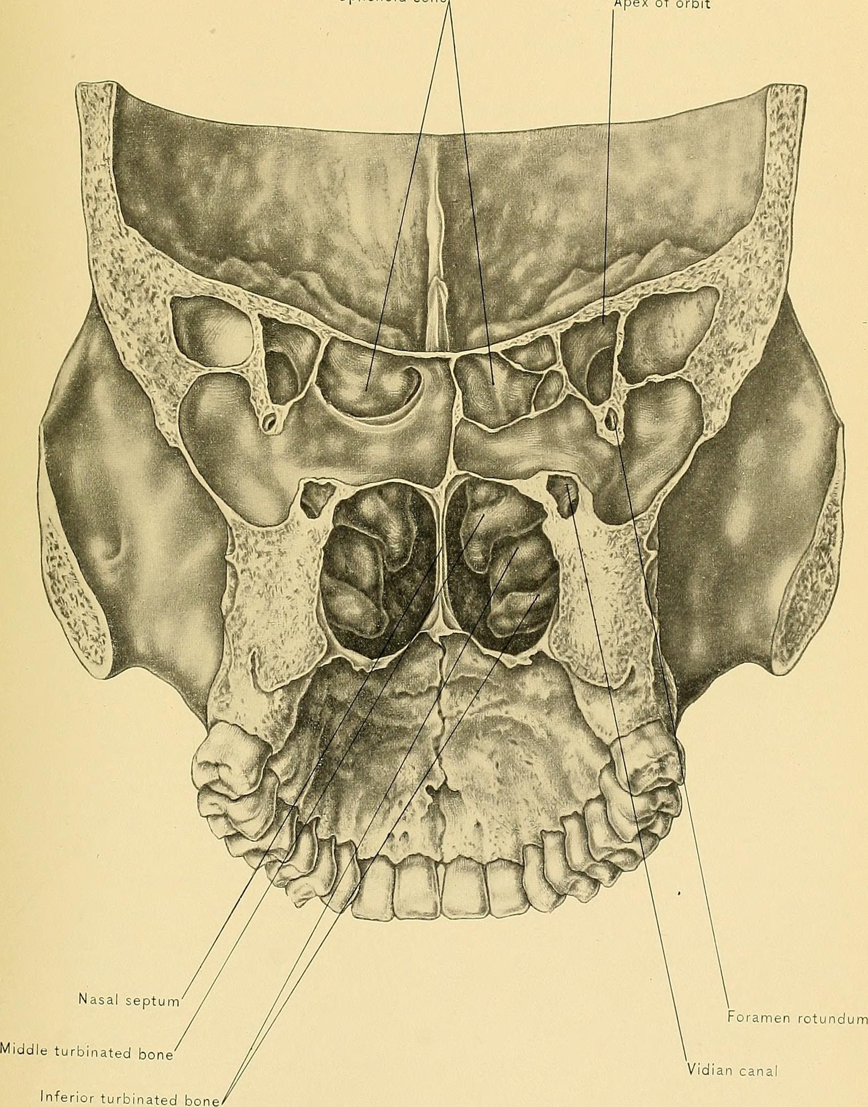This diagram shows our nasal cavity and its bony flanges, the turbinates. These bony structures are covered in damp skin carrying scent-detecting (chemosensory) nerve endings