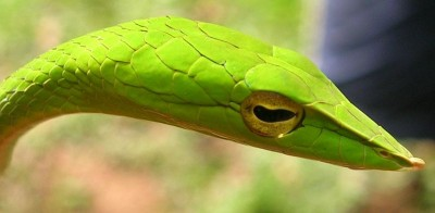Head of a vine snake, Ahaetulla nasuta, showing the diamond shaped patterns of its scales. Some very young children have a spontaneous fear response upon seeing a snake, even though they have never previously encountered or heard about them.  Similar emotional responses, coupled with avoidance behaviours, have been recorded in primates raised in captivity, and who have not been exposed to these animals at any point during their lifetimes (Image: Wikimedia Commons)