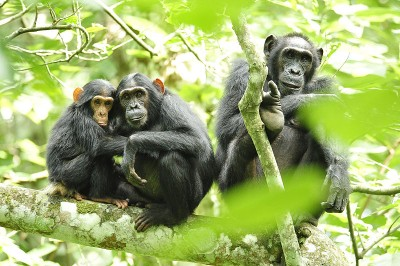 Chimpanzees (Pan troglodytes) in Uganda. These animals, like other of our close primate relatives, use mutual grooming to bond their tribe.  Affectionate touch is vital for these animals' emotional wellbeing.   In mammals, affectionate touch and body warmth stimulates the vagus nerve to release oxytocin.  This calms the body, particularly the heart and gut, reducing their fear response and increasing their perceived experience of safety and pleasure.   (Image: Wikimedia commons)