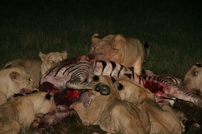 A pride of lions (Panthera leo) demolishing the carcass of a zebra. George Schaller's classic studies of lion populations on the Serengeti concluded that these predators do not directly regulate the numbers of wildebeest, zebra and gazelles.  Instead, their presence in the environment modifies the time they spend hiding from predators.   When lion numbers are low, the prey's resulting boldness makes it much easier for these predators to feed and so recover their population numbers.   (Image: Wikimedia commons)