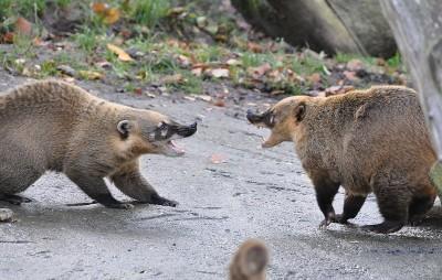 Ring-tailed Coati (Nasua nasua) engaged in an aggression display; Lüneburg Heath wildlife park, Germany.   (Image: Wikimedia commons)