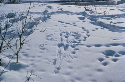 These tracks in the snow show where a bird has been caught by a predator, probably a grey wolf (Canis lupus).  Sudden stresses such as this swift capture produce short term responses in brain neural circuits and hormonal shifts in the body.  Longer term stresses produce lasting changes in the autonomic nervous system, altering the sensitivity of the emotion-associated neural circuits. Vertebrates from zebrafish to apes, when living under prolonged fear stress, show symptoms which appear equivalent to helplessness and depression in humans.   (Image: Wikimedia commons)