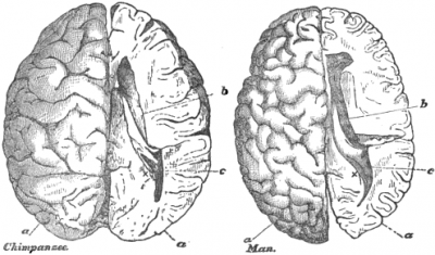 Thomas Huxley's drawings of a human and chimpanzee brain scaled to the same size, from his book, Science and Education: Essays  (1904).   In practice our brains are larger than those of our closest genetic relatives, the chimpanzees.  We also have a greater number of interconnections per neuron.   (Image: Wikimedia commons)