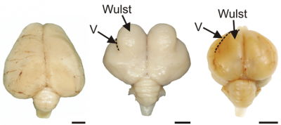 Left to right; brains of a North island Brown kiwi (Apteryx mantelli), a barn owl (Tyto alba) and a domestic pigeon (Columba livia), all seen from the back.   All three have a similarly sized and shaped cerebellum at the base of the brain.   Note however, that in the kiwi, the enlarged hemispheres of the forebrain have grown over and completely hide the underlying midbrain.  The 'Wulst' is a region in the bird's brain specialised for processing complex information.  In the owl brain this area is greatly expanded.   V = 'vallecula', a fold.  Scale bars = 0.5 cm. (Image: Wikimedia commons)